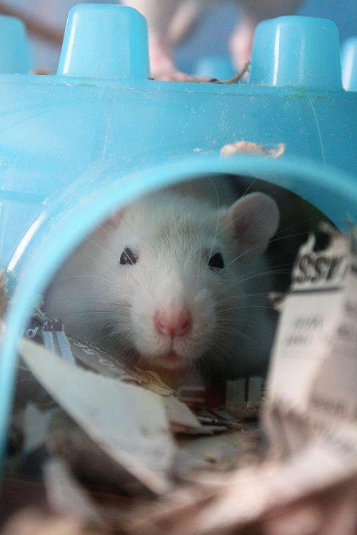 02-10-rat1