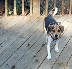 Scout looking for warm place to park it on the deck (cbb4104) Tags: dog hound scout deck terrier beaglemix warmplace jackrusselmix houndterriermix hybridbreed jackabea