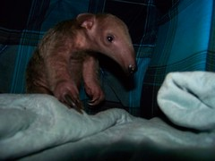 Baby anteaters aren't scared of the boggy man
