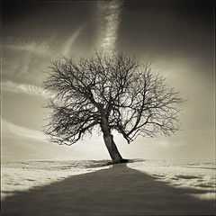 With The Rays Of Light Behind (Vincnt) Tags: winter shadow sky sun snow tree afternoon shadows plum czechrepublic zima strom plumtree umava ilforddelta100 kvilda stn mraky slunce obloha snh vestka bohemianforest naturepoetry odpoledne contrejourlighting protisvtlo pavelhork wwwpavelhorakcom czechhasselbladphotographers