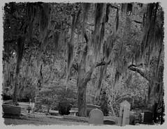 """spooky old cemetery"" (guy with cameras) Tags: old blackandwhite bw tree cemetery leaves canon dark moss sad headstone creepy spooky doom dunedin ghostly endofdays smalltownamerica dunedincemetery aperture3"