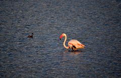 Phoenicopterus roseus (Mat.Tauriello) Tags: bird flamingoes pond nikon flamingo salt flamingos aves uccelli greater saline greaterflamingo phoenicopterusroseus cagliari salina avifauna evaporation uccello 3100 quartu phoenicopteriformes phoenicopteridae phoenicopterus fenicottero fenicotteromaggiore salterns quartusantelena saltevaporationpond nikon55200mmf456gedifafsdxvrzoom salinedicagliari d3100 nikond3100 pondofcagliari parconaturaleregionalemolentargiussaline