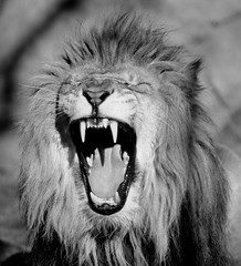 lion   B&W (33Tazz) Tags: white black tom zoo indianapolis lion schoon blackwhitephotos impressedbeauty bestcapturesaoi newgoldenseal