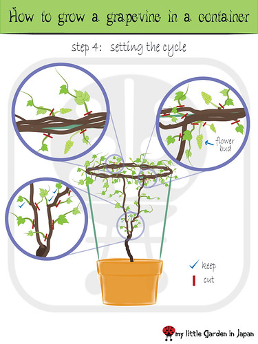 How-to-grow-a-grapevine-in-a-container-5