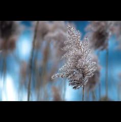 im Winterschlaf (~janne) Tags: blue winter nature dof bokeh natur olympus farne f28 janne februar wetzlar 135mm leitz janusz elmaritr e520 ziob