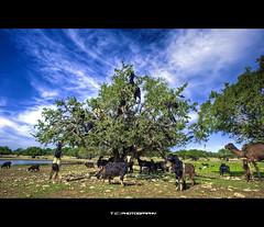 Goats Riot (iPh4n70M) Tags: blue sky tree green animal clouds photography photo riot weed nikon photographer photographie goat vert bleu ciel morocco photograph maroc revolution tc rvolution nuages arbre hdr herbe chvre photographe dromadaire chameau vgtation bouc meute 9xp d700 1424mm 9raw tcphotography ph4n70m iph4n70m tcphotographie