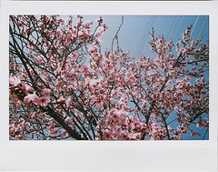 Flowering Plum (Nick Leonard) Tags: city pink vegas flowers blue sky tree film nature fuji lasvegas branches nevada nick instax floweringplum instantfilm fujiinstax200 nickleonard fujiinstax210