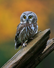 Saw Whet Owl (ashockenberry) Tags: niceshot ringexcellence