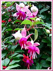 Fuchsia 'Garden News' with attractive flowers in pale pink and magenta/fuchsia