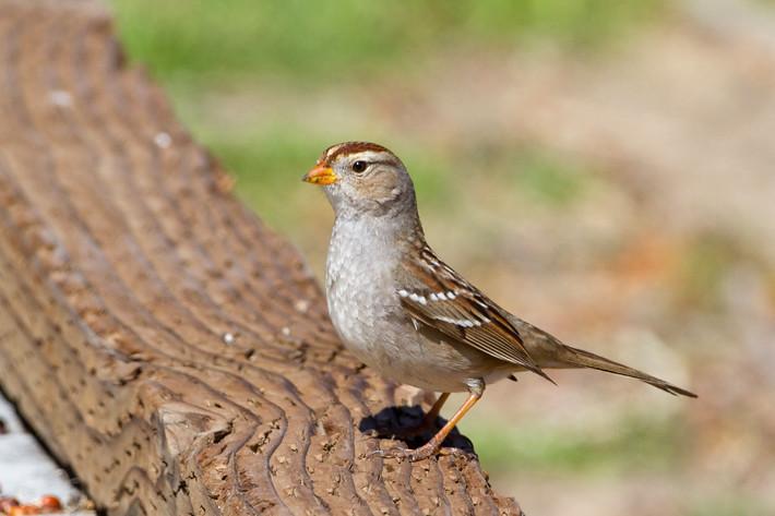 022411_sparrow