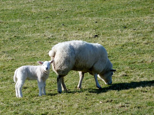 Spring lamb nr Stewarton