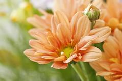 Margarita Naranja (Lily Arleo) Tags: flowers naturaleza flores floral naranja margaritas