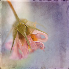 wilting (borealnz) Tags: flower texture lensbaby square dead faded wilted cosmos flypaper bsquare pastitsbest lensbabycomposer flypapertextures flyedge withmacrofilter