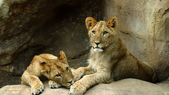 Lion Cubs Resting after Playing at the Denver Zoo (D200-PAUL) Tags: cats cub lion denver felines denverzoo lioncub