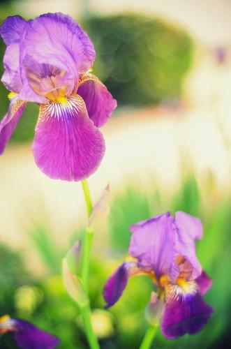 Surprise Irises