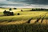 springfield (Dennis_F) Tags: light nature field clouds landscape licht sony natur hell tracks feld spuren traces wolken sigma dslr 50 karlsruhe landschaft bäume schatten dunkel 50mmf14 frühling sigma50mm weizen weingarten sigmalens a700 kraichgau festbrennweite sonyalpha sonydslr sigma5014 sigma50mmf14 alpha700 sonya700 sonyalpha700 dslra700 sigmaobjektiv