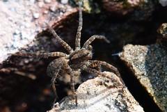 Wandering wolf (-spider) (docoellerson) Tags: macro closeup spider critter spinne arachnophobia arthropoda cleft arachnida araneae lycosidae metazoa eumetazoa wolfspinne webspinne