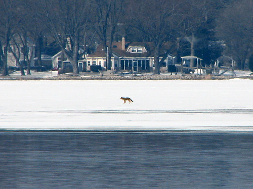 Coyote walking on ice