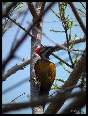 Flameback Wood Pecker by crsphotos
