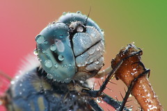 Water droplets on a dragonfly's compound eyes. (AgniMax) Tags: life wild wallpaper macro nature water canon insect droplets drops eyes dragonfly wildlife kerala waterdrops testshot odonata extrememacro insecta anisoptera kenko 70200f4l 70200f4 dcr250 raynox compoundeyes cotcmostfavorited raynoxdcr250 orderodonata kenkoextensiontube eos400d naturewallpapers kenkoet