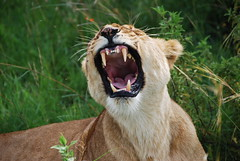 Kenya0714 (s1m0nr) Tags: africa travel holiday nature animal animals kenya wildlife teeth lion safari leon bigcat simba lioness masai afrique bigfive masaimara naturephotography eastafrica travelphotography wildlifephotography masaaimara 18200vr nikond60 flickraward platinumheartaward holidayphotography platinumpeaceaward doublyniceshot tripleniceshot flickraward5 mygearandme mygearandmepremium mygearandmebronze mygearandmesilver mygearandmegold flickrawardgallery 4timesasnice