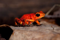 "Oophaga pumilio ""Cayo Nancy"" (Thor Hakonsen) Tags: red meg nancy dartfrog sigma150mmf28macro strawberrypoisondartfrog themacrogroup nikond700 oopgahapumilio cayonancy"