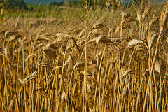 Grano - 0071 (Roberto Bertolle) Tags: italy italia wheat roberto umbria grano threshing terni trebbiatura bertolle robertolle robertobertolle mietitrebbiatura
