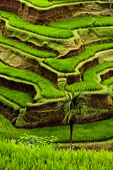 Bali Rice Terraces (binsin) Tags: travel bali colour green indonesia riceterraces