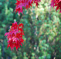 red maple leaves (pacomomma) Tags: flowers gardens nikond80 pse9