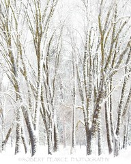 Snow Covered Oaks in El Capitan Meadow (Robert Pearce Photography) Tags: california trees winter white snow oak branches yosemite highkey february oaks yosemitevalley 2011 nikond200 robertpearce robertpearcephotography elcpaitanmeadow