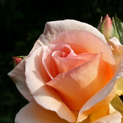 Apricot Rose, Adelaide _7567_2 (Rikx) Tags: pink summer flower nature beautiful beauty rose garden adelaide apricot southaustralia fa aei