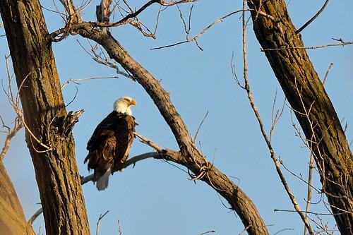 Bald Eagle DSC_5884