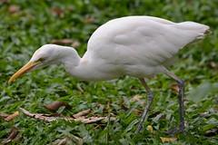 White Heron  (Lim SK) Tags: