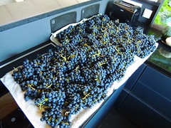 Traubenernte von einer Pflanze (Sophia-Fatima) Tags: grapeharvestingfromthegarden mygarden meingarten trauben traubenernte