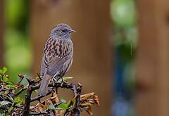 _DSC5191 Dunnock in the rain (Rattyman76) Tags: rain overcast dunnock d3s nikon