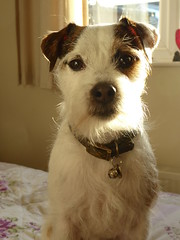 Dave (made by maxine) Tags: parsonrussellterrier jackrussell terrier cute dog