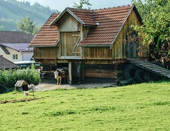 Bovini indecisi. Esco o non esco questa mattina? La #transylvania rurale e montana nella sua forma pi pura. (Viaggio Vero) Tags: photo instagram flickr viaggiovero travel viaggio
