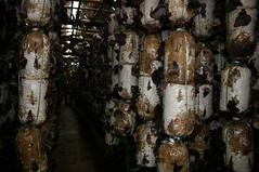 Mushroom farm along the old Ho Chi Minh trail, Vietnam (sensaos) Tags: travel 2004 mushroom asia vietnamese farm farming vietnam viet trail chi ho minh nam azie azi sensaos