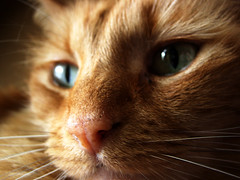 A Fallen Angel (Jason A. Samfield) Tags: cats cat dead death feline gorgeous tabby felines leeloo tabbycat beautifulcat