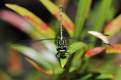 Jade Hunter Dragonfly (R_P_F) Tags: macro insect nationalpark dragonfly nsw kuringgai odonata mccarrscreek jadehunter