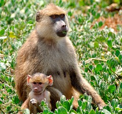 Mother and Child (keithhull) Tags: africa family baby kenya baboon amboseli topshots selenkayconservancy natureselegantshots explorewinnersoftheworld panoramafotográfico theoriginalgoldseal seeninexplore2412011392