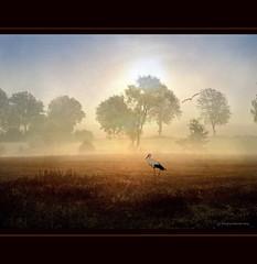 Stork in golden Field