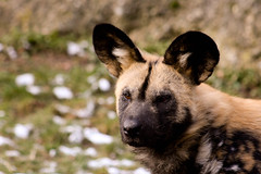 African Wild Dog (chrigischuler) Tags: wild bw dog white black blackwhite wolf african painted hunting hund sw spotted ornate schwarzweiss weiss schwarz africanwilddog africanhuntingdog painteddog afrikanischer capehuntingdog wildhund spotteddog paintedwolf ornatewolf paintedhunting