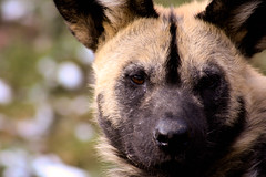 African Wild Dog (chrigischuler) Tags: wild dog wolf african painted hunting hund spotted ornate africanwilddog africanhuntingdog painteddog afrikanischer capehuntingdog wildhund spotteddog paintedwolf ornatewolf paintedhunting