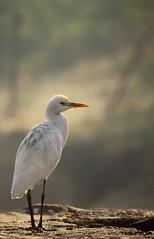 (Egret) (Vi. Ko. (Vikas K.)) Tags: morning india white bird nature beautiful yellow pose grey early bokeh pat maharashtra egret vikas pune kavadi paat kavdi viko kharadi koshti bagala vikovikask
