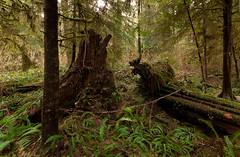 20110122D300_1575 (cisco42) Tags: trees winter canada clouds forest landscape moss britishcolumbia vancouverisland watershed northamerica sitkaspruce westernredcedar juandefucapark losscreek