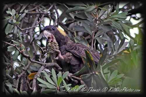 25-365 Yellow-tailed Black Cockatoo