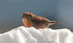 King of the Snow Hill (martytdx) Tags: male birds birding january nj immature longbranch sevenpresidentspark redcrossbill coldashell loxiacurvirostra loxia crossbills fingillidae