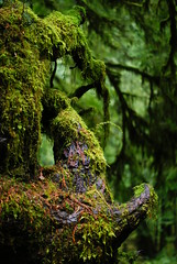 Cathedral Grove Forest (Geoffrey Campbell) Tags: wood trees people brown canada fern green outdoors moss woods bc growth bark stump adriel forested catherdralgrove