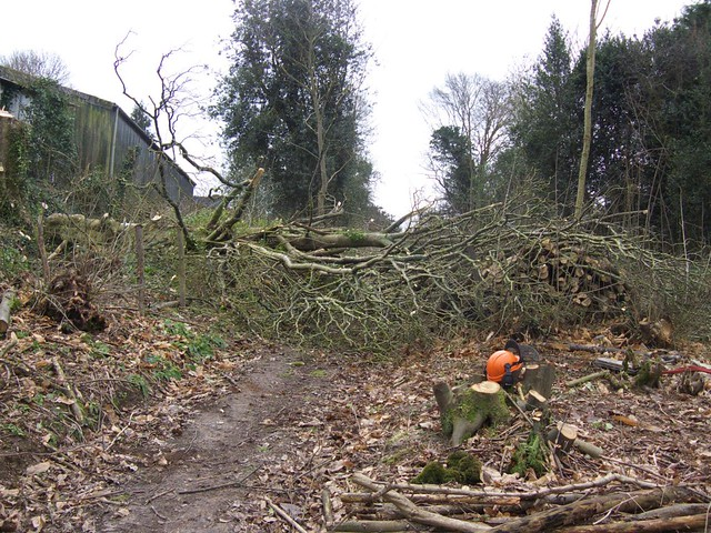 Felling large Sycamore